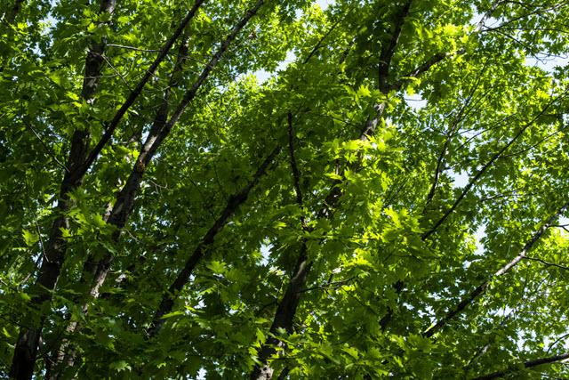Gwinn Trees